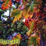 Postkarte Hofcafé Spätlese